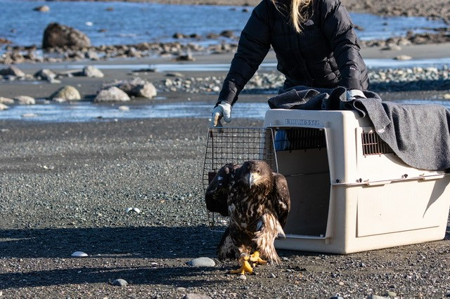 Eagle on Port Hardy beach taking flight after rescue rehabilitation photo 5