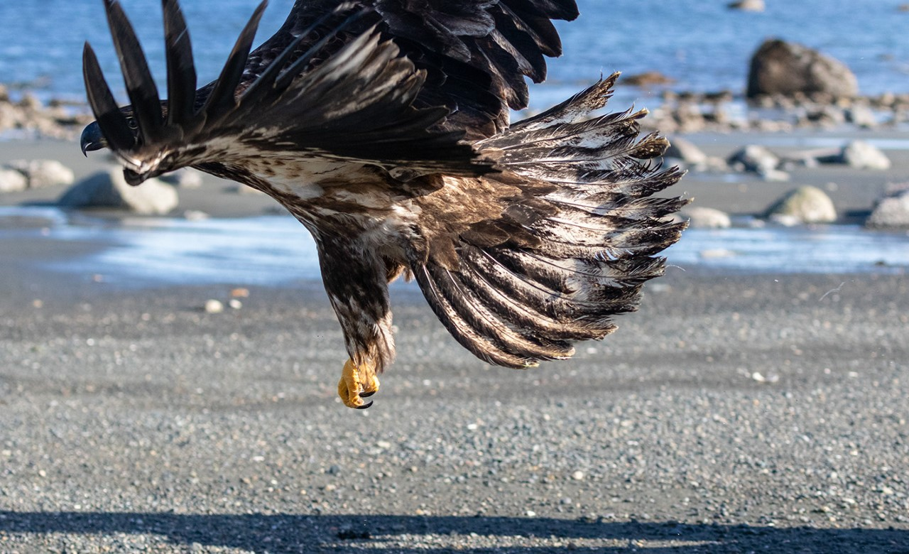 Eagle on Port Hardy beach taking flight after rescue rehabilitation